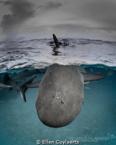"""""""Do you love me"""" Tige beach shark at surface shot by Ellen Cuylaerts"""