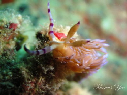Subject : Serpent Nudi How : Im using Close focus enable... by Marcus Yee