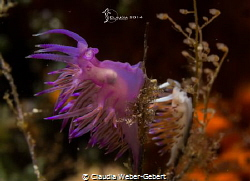 let's rock...  Flabellina affinis + Cratena peregrina by Claudia Weber-Gebert