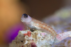Goby again, different image maybe I like this one more. F... by James Deverich