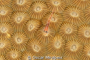 goby on hardcoral by Oscar Miralpeix