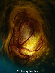 Brittle Star in a sponge by Lindsey Mobley