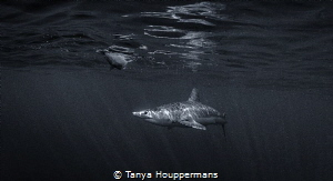 Mako in the Shadows A mako shark off the coast of Rhode ... by Tanya Houppermans