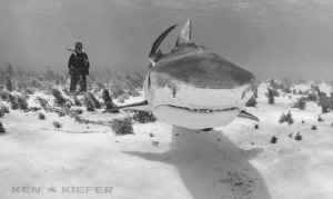 big tigershark coming towards me, with my wife observing ... by Ken Kiefer
