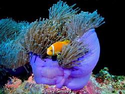 Clown fish by Niky Šímová