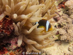 Clown Fish (female) in his anemone by Caroline B