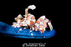 Harlequin Shrimp by Jonathan Sala