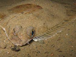 Flounder by Asbjorn Hansen