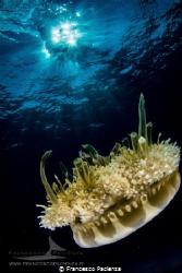 [:b:]Andromeda jellyfish[:/b:] by Francesco Pacienza