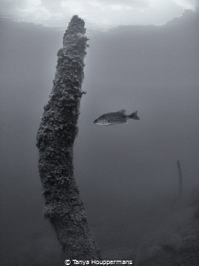 The Loner A lone fish hovers near a branch in the Rappah... by Tanya Houppermans