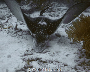 Spotted Eagle Ray looking for something to eat. by Chris Miskavitch