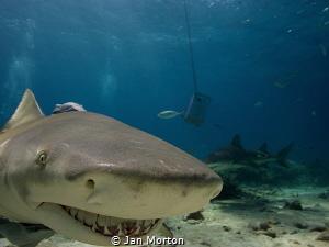 A smug smile from a friendly Lemon Shark.  I'd love to kn... by Jan Morton