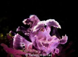 Purple Rhinopias or Weedy scorpionfish by Kelvin H.y. Tan