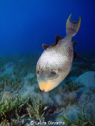 Yellowmargin Triggerfish, Abu Dabbab by Laura Dinraths