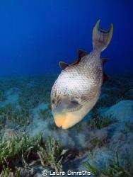 Yellowmargin Triggerfish, Abu Dabbab by Laura Dinraths