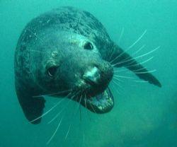 Peckish grey seal in the Farne islands. They allways come... by Dawn Watson