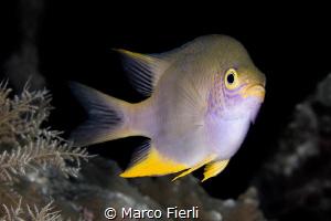 Golden Damsel by Marco Fierli