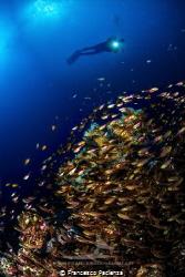 [:b:]Glassfishes school[:/b:] by Francesco Pacienza