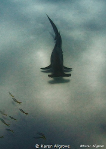 Great hammerhead gracefully gliding by during a safety stop. by Karen Allgrove