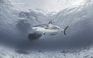 Reef Sharks around the dive boat at Tiger Beach, Bahamas by Ken Kiefer