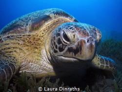 Green turtle (Chelonia mydas) feeding on seagrass by Laura Dinraths