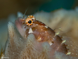 Ringed Blenny  Starksia hassi   Bonaire by John Roach