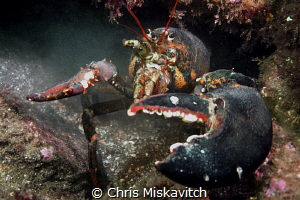 Back away slowly...no lobstaaas or divers were harmed in ... by Chris Miskavitch
