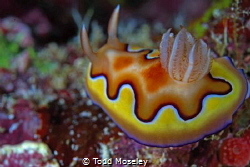 Nudibranch Misool house reef 2 by Todd Moseley