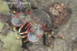 Slipper lobster. Not difficult to see why people call the... by Patrick Reardon