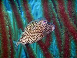 Box fish photographed in Bonaire August 2005. Olympus 770... by Ron Shavreen