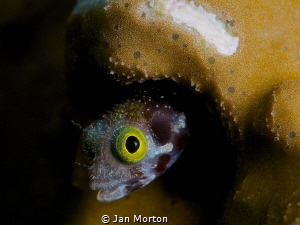 Secretary Blenny Face