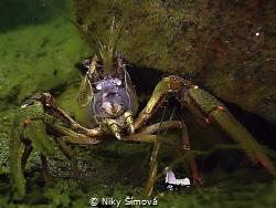 Crayfish by Niky Šímová
