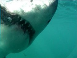Teeth need brushing? Great White Shark. Dyer Island. Sout... by Peter Fields