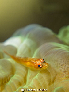 small goby by Beate Seiler