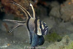 cardinal fish by Puddu Massimo