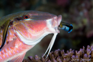 Risky Business / Dare devil cleaner wrasse doing a loop t... by James Deverich