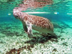 Manatee On A Sunny Day.Camara Olympus C-5050, Ikelite Hou... by Ray Eccleston