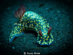 Hypselodoris infucata @ Drop off, Tulamben by Nuno Alves