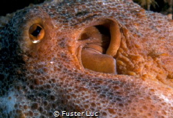 close-up of an Octopus vulgaris by Fuster Luc