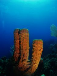 A nice tube sponge on the wall of South Water Cay Marine ... by Martin Spragg