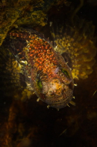 Japanese fringed blenny by Dmitry Starostenkov