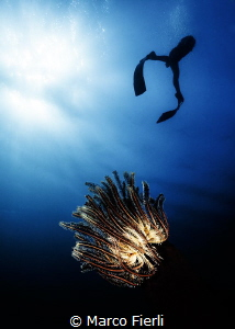 Crinoid and Free Diver Ai Futaki by Marco Fierli