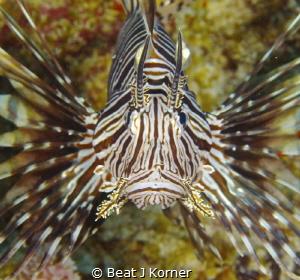 Lionfish Portrait on Curaçao. by Beat J Korner