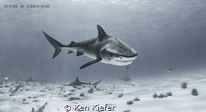 """Sharks have everything a scientist dreams of. They're li... by Ken Kiefer"