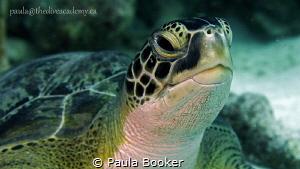 Green Sea Turtle Portrait by Paula Booker