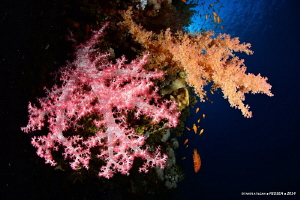 Soft corals from Brother Islands by Taner Atilgan