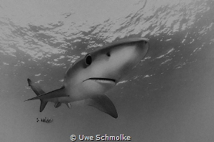 Blue shark by Uwe Schmolke