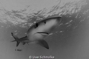 Blue shark by Uwe Schmolke