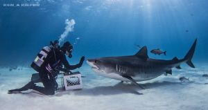 Shark Wrangler asking the Tiger Shark to 'stay' ;) by Ken Kiefer