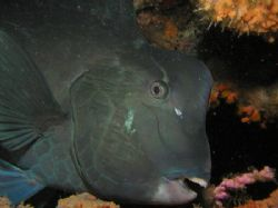 Bumphead parrotfish, this was taken in Sipadan during a n... by Tony Otion